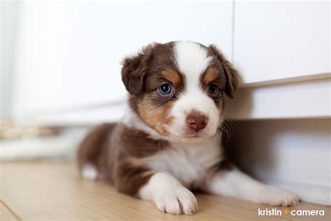 puppies lubbock spaniel description breeds picture