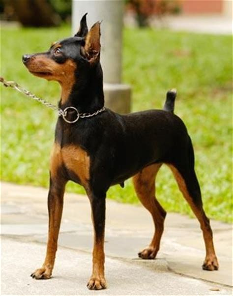 1000+ ideas about miniature pinscher on pinterest | min