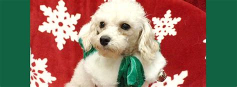 shih tzu and furbabies home shih tzus furbabiesshih tzus furbabies dedicated to rescue