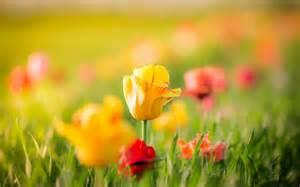 Hd Interior Fondo De Pantalla Tulipanes Flores Amarillas Y Rojas Hd