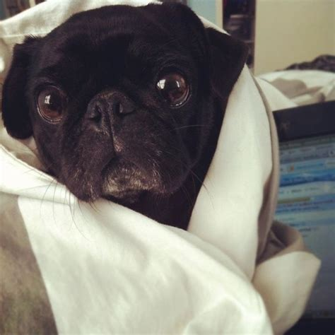 pug snug 62 best images about pugs pugs and more pugs on puppys pug and