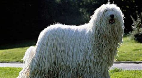 can dogs eat jicama komondor breed information facts and pictures alldogsworld