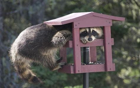 a raccoon in the bird feeder pixdaus