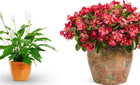 indoor flowering plants that don t need sunlight plants