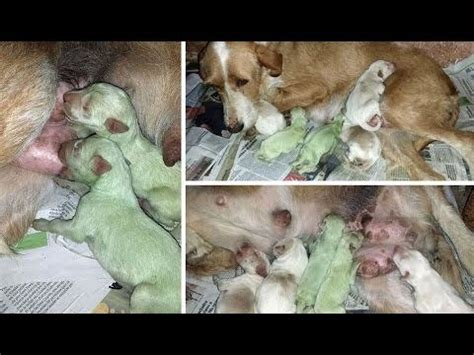 how for puppies to be born breeder in shock when puppies are born the dogington post
