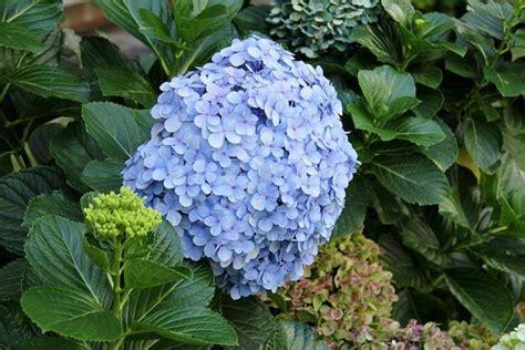 Gardenia Poisonous Beautiful But Dangerous Deadly Poisonous Garden Plants