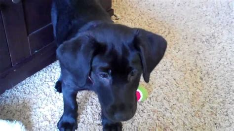 10 week lab puppy puppy clicker smart 10 week black labrador part 6
