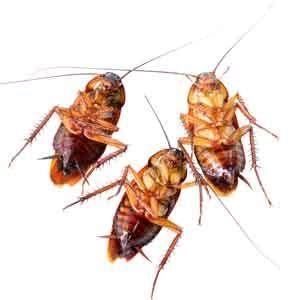 porque salen cucarachas en casa porqu 233 las cucarachas viven en nuestras casas plagas