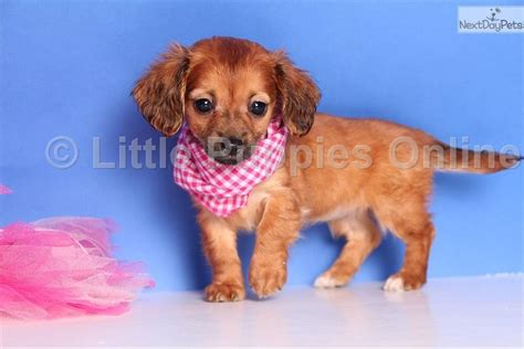 miniature dachshund puppies for sale in ohio haired dachshund puppies for sale in ohio breeds picture