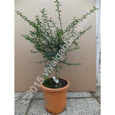 piante limoni in vaso prezzi piante limoni in vaso prezzi pianta di menta limone in