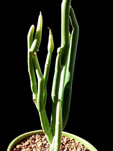pedilanthus macrocarpus cactus jungle
