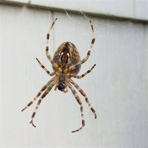 american house spider american house spider hanging around a front door
