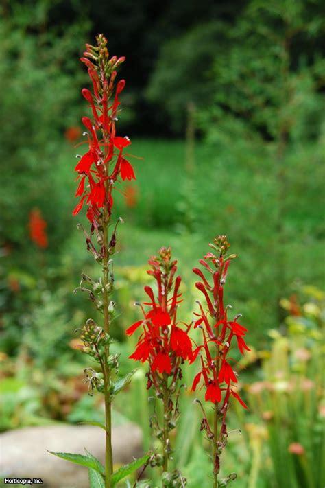 hummingbird plant hummingbird plants hgtv
