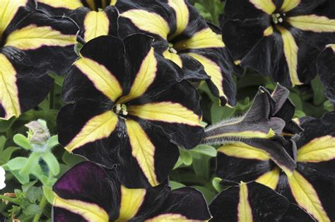 black petunia add some intrigue and elegance to your garden snaplant com