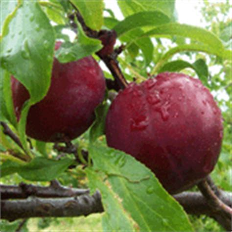 mount royal plum trees ymker greenhouse and landscaping