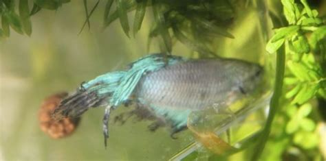 Dying And The Littlest Lives by Adopts Near Dying Betta Fish And Saves The Littlest