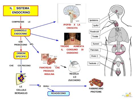 sistema arte 15 sistema endocrino mappa concettuale anatomia fisiologia