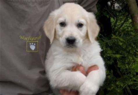 golden retriever te koop golden retriever pups te koop golden retriever puppies beschikbaar woefkesranch