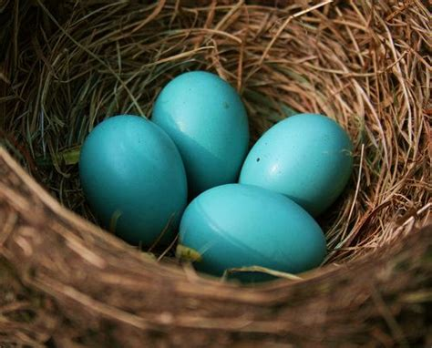 robin s egg blue by photo eyes on deviantart robins eggs