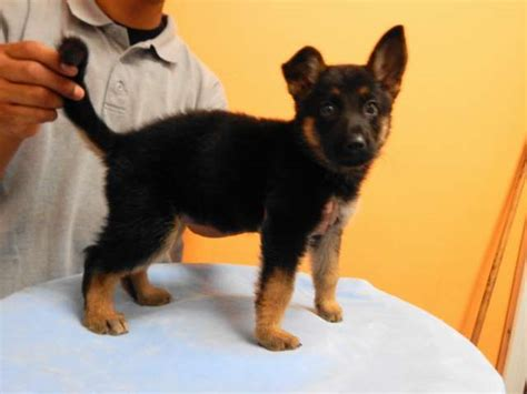 german shepherd puppies for sale in los angeles german shepherd puppies for sale in los angeles dogs our friends photo