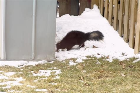 how do you get rid of skunks in your backyard how do you get rid of a skunk tribe forum