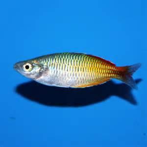 Boeseman's Rainbowfish, Melanotaenia boesemani, Bicolor Rainbowfish