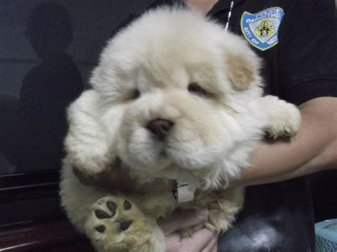 chow chow puppies price chow chow puppies for sale sooriyaprasath 1 10015 dogs for sale price of puppies