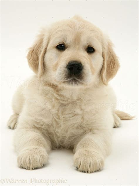 is a golden retriever right for me the 25 best white golden retrievers ideas on golden retriever