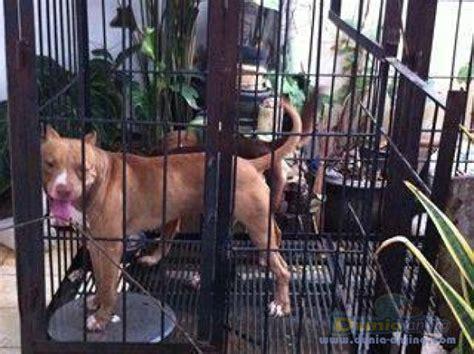 Jual Kandang Pagar Anjing Surabaya dunia anjing jual anjing american pit bull terrier