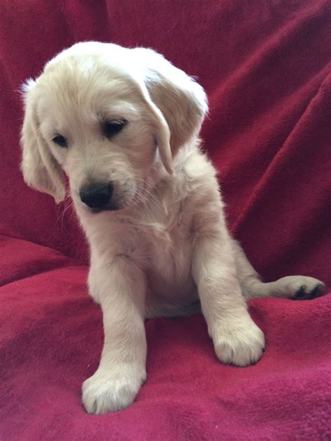 golden retriever puppies for sale in cornwall pedigree golden retriever puppy cornwall hayle cornwall pets4homes