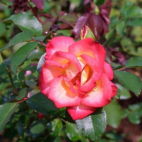 bett rosa betty boop finegardening