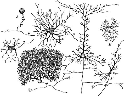 nerve cell coloring nerve cells coloring coloring pages