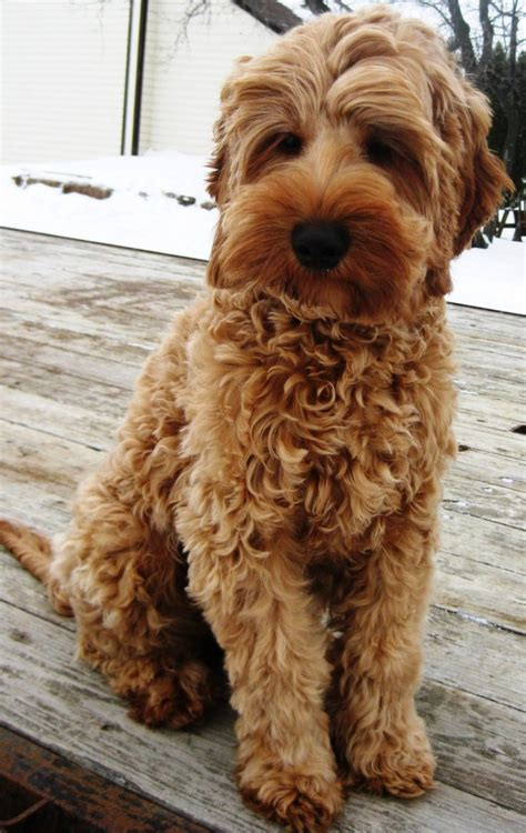 cheap labradoodle puppies for sale 403 forbidden