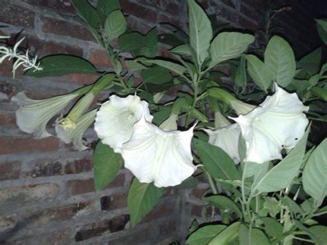 imagenes de flores que abren de noche flores nocturnas im 225 genes taringa