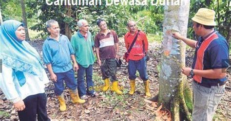 Benih Durian Musang King Raub anim agro technology pokok durian ekspress