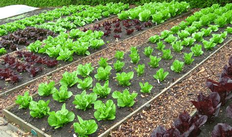 Tips On Organic Vegetable Gardening Organic Vegetable Gardening