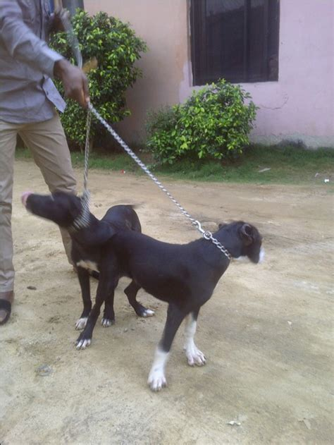 which is more dangerous rottweiler or pitbull pitbull or rottweiler which is more dangerous pets 5 nigeria
