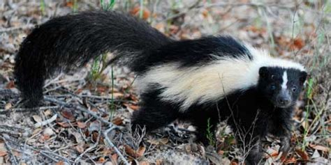 Why Does House Smell Like Skunk The Best Way To Get Rid Of Skunk Smell Odor Removal