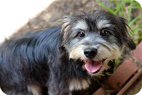 havanese schnauzer mix puppies pet not found