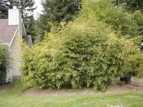 growing bamboo plants in landscape bamboo plants online