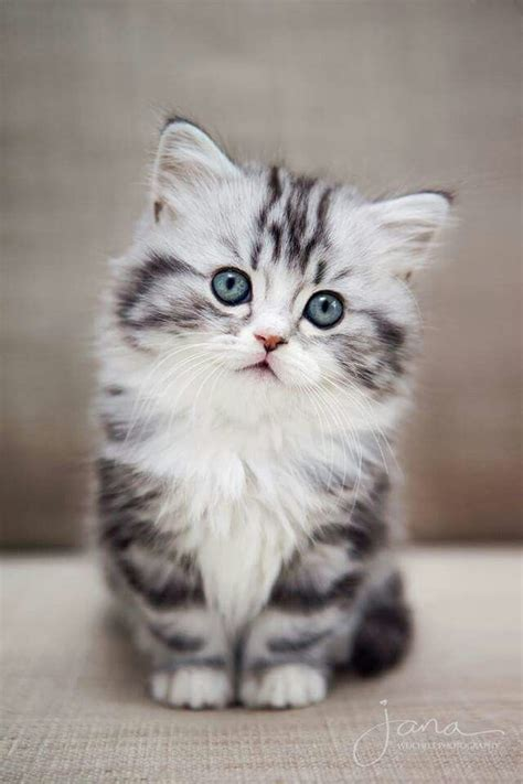 best chat 17 best ideas about fluffy kittens on baby