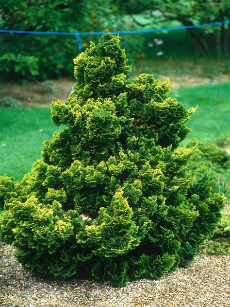 dwarf shrubs evergreen 841 best conifers images on landscaping evergreen garden and evergreen landscape