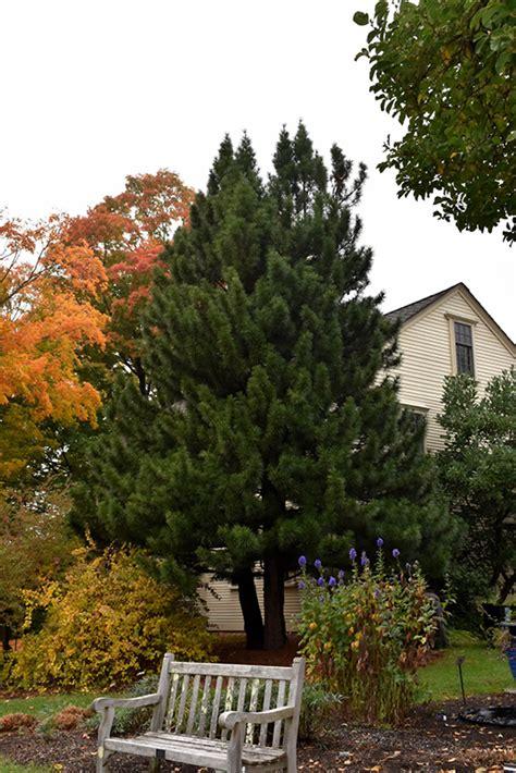 japanese umbrella pine sciadopitys verticillata  iowa