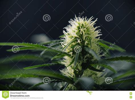 fiori di mariuana cannabis flower blooming marijuana plant with early