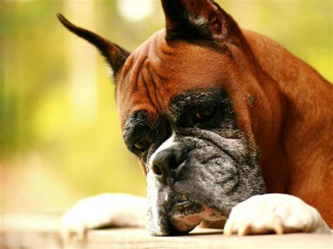 boxer puppy pics wallpapers boxer wallpapers