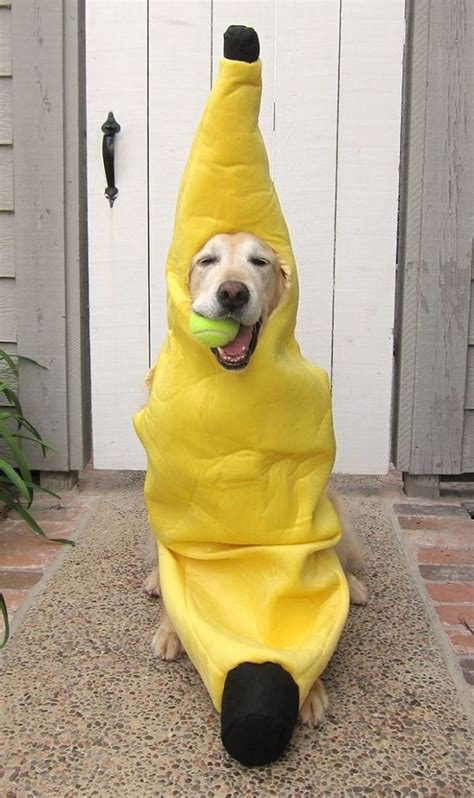 puppy banana 17 best labrador costume ideas