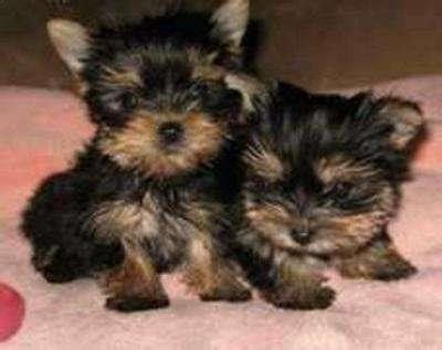 baby teacup yorkies well brought up baby yorkie puppies creve coeur mo asnclassifieds