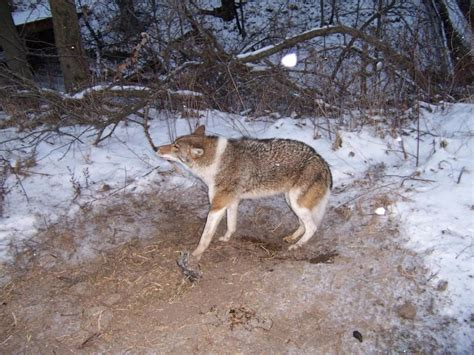 coyote with dogs coydog history