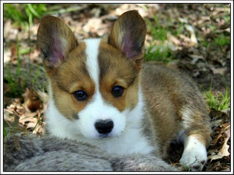 ebay puppies 4pack pembroke corgi puppy dogs puppies greeting notecards envelopes ebay