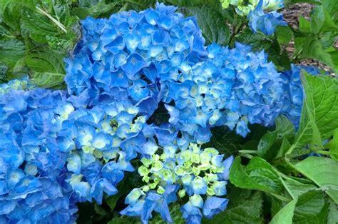 imagenes de hortencias blancas hortensias azules im 225 genes y fotos